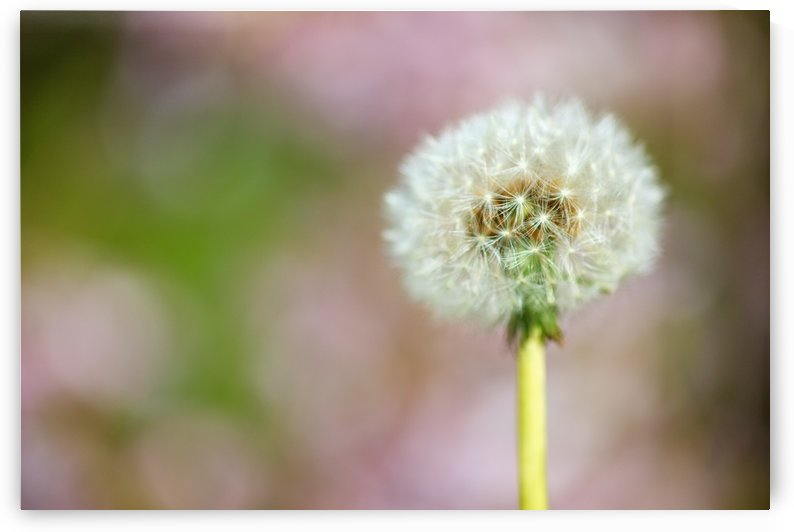 Portland, Oregon, United States Of America; Dandelion As A Parachute Ball by PacificStock