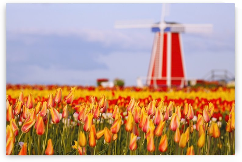 Woodburn, Oregon, United States Of America; A Field Of Tulips And A Windmill At Wooden Shoe Tulip Farm by PacificStock