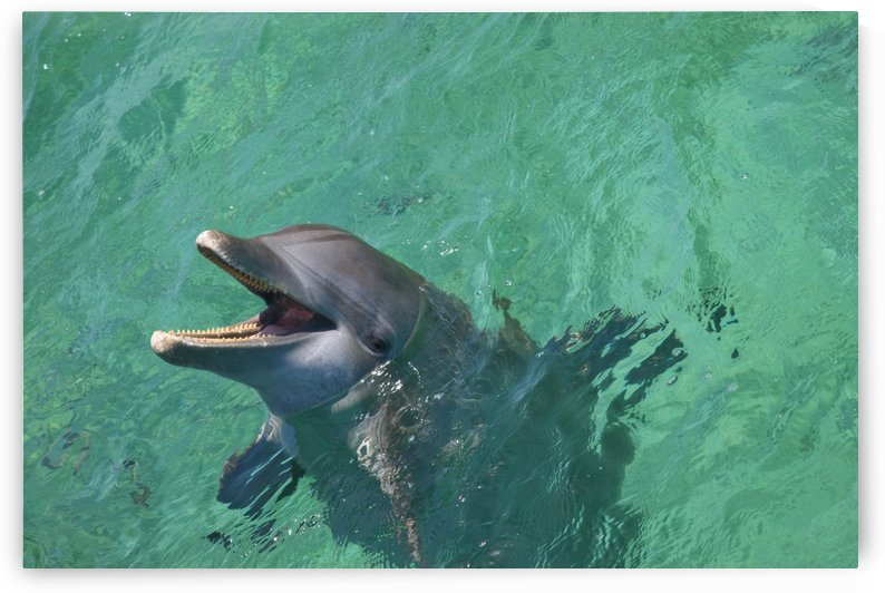 Roatan, Bay Islands, Honduras; Bottlenose Dolphin (Tursiops Truncatus) At Anthony's Key Resort by PacificStock