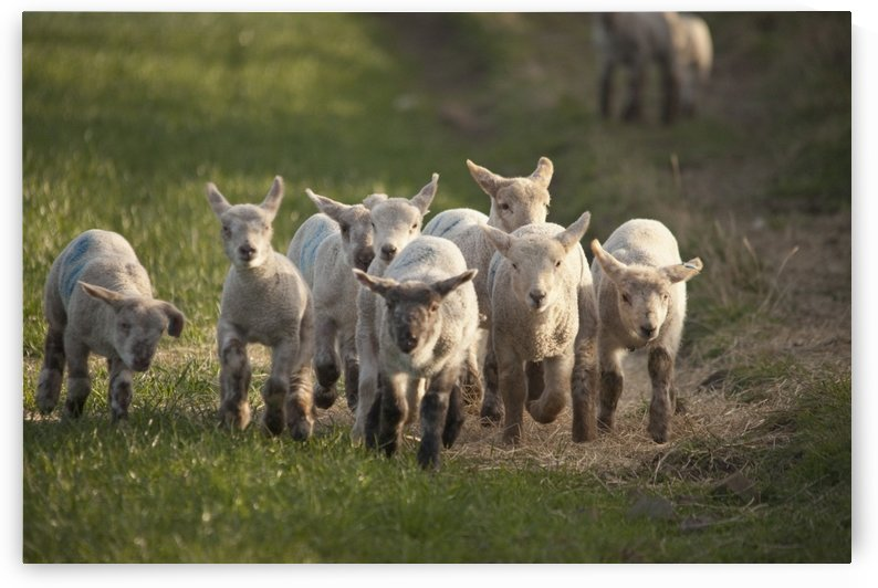 Northumberland, England; A Group Of Lambs Running Together by PacificStock