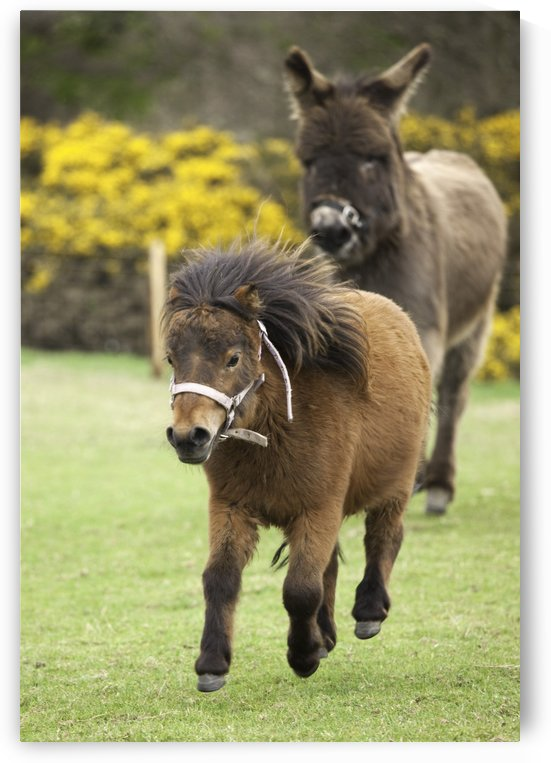 Northumberland, England; Two Ponies Running In A Field by PacificStock
