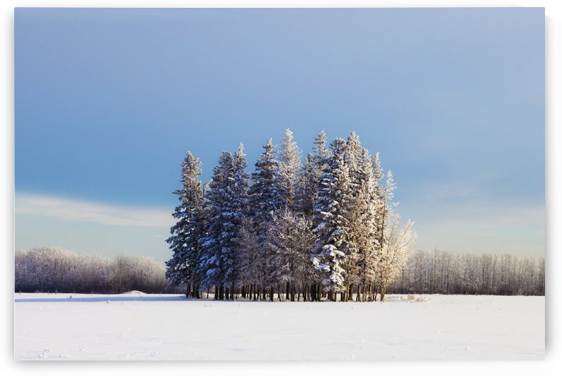 Parkland County, Alberta, Canada; A Cluster Of Trees In A Field Covered In Snow In Winter by PacificStock