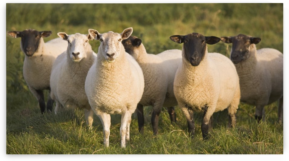 Sheep In A Pasture; Yorkshire, England by PacificStock