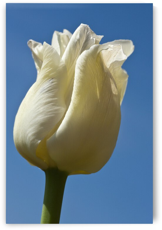 A White Tulip Against A Blue Sky; Northumberland, England by PacificStock