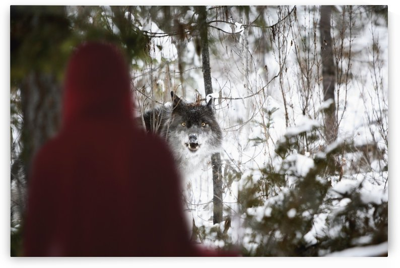 Little Red Riding Hood Looking At The Big Bad Wolf; Alberta, Canada by PacificStock