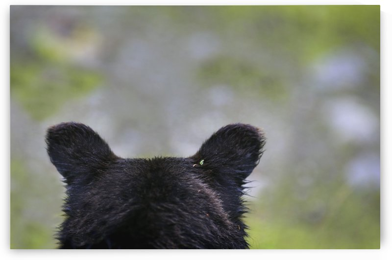 The Back Of A Grizzly Bear (Ursus Arctos Horribilis) Head; Hyder, Alaska, Usa by PacificStock