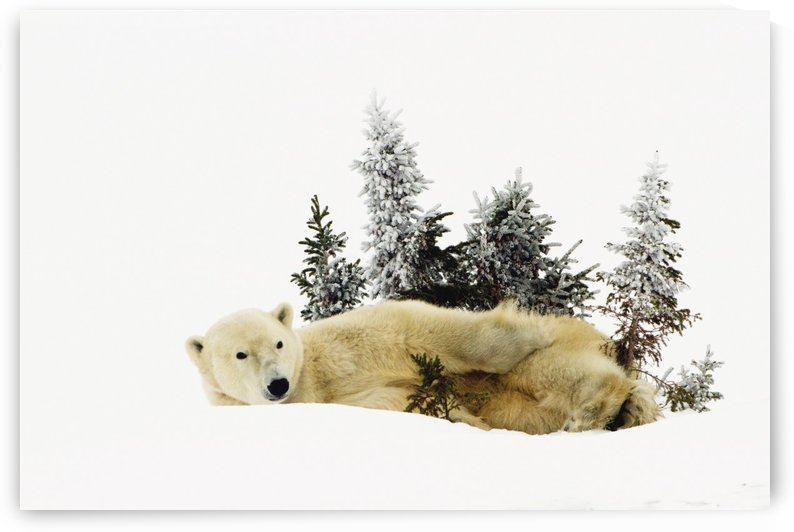 A Polar Bear (Ursus Maritimus) Photographed At Wapusk National Park; Churchill, Manitoba, Canada by PacificStock