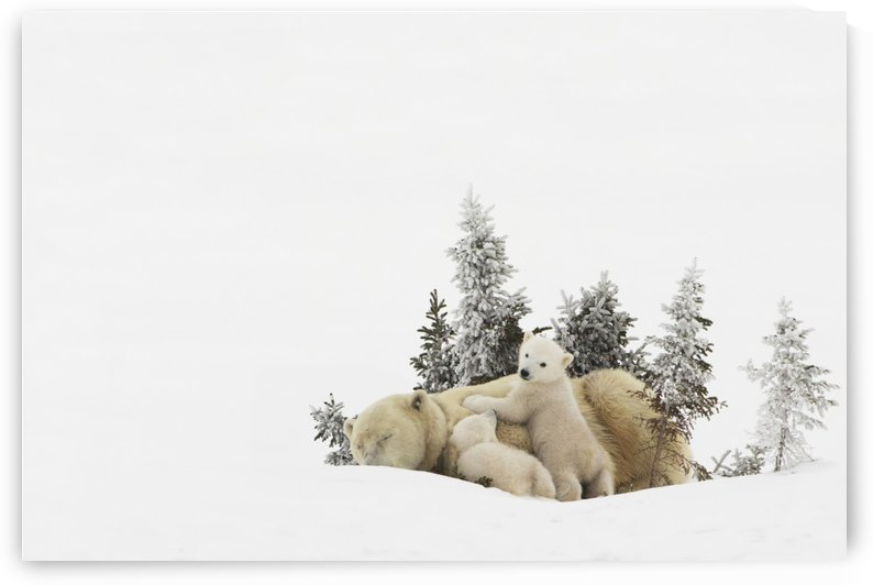 Polar Bear (Ursus Maritimus) Mother And Her Cubs Playing In The Snow In Wapusk National Park; Churchill, Manitoba, Canada by PacificStock