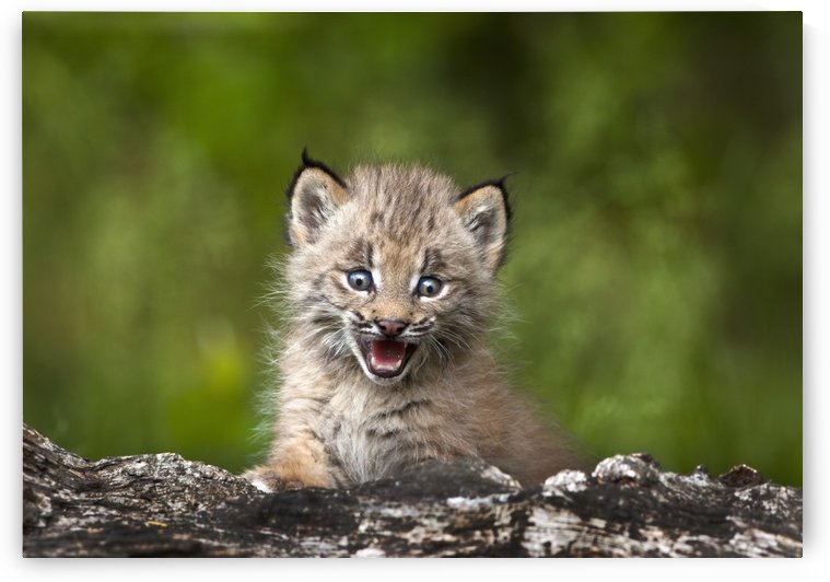 Baby Lynx (Lynx Canadensis) Looking Over A Fallen Tree; Canmore, Alberta, Canada by PacificStock