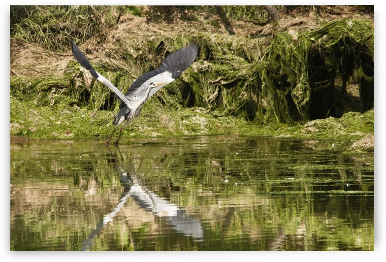 A Grey Heron Landing On Water; Warkworth, Northumberland, Englad by PacificStock