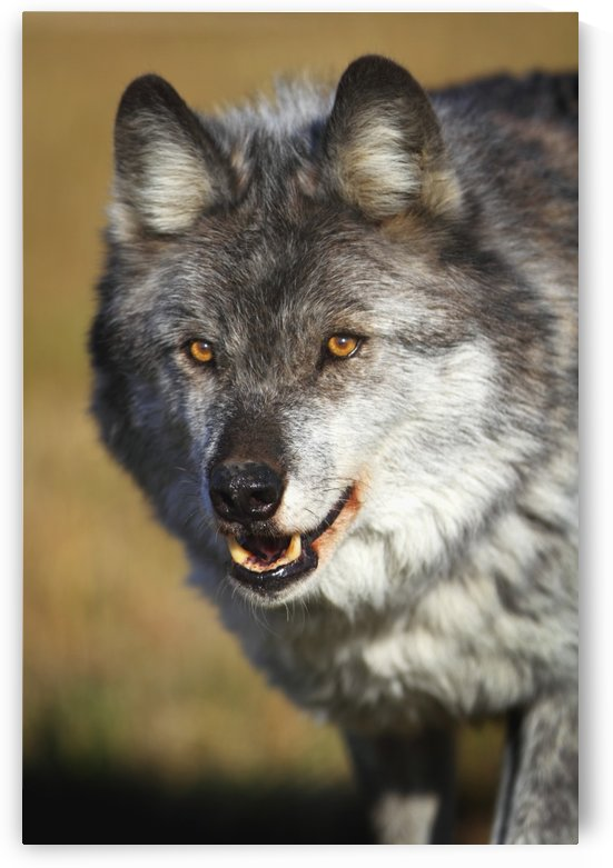 Wolf (Canis Lupus); Golden, British Columbia, Canada by PacificStock