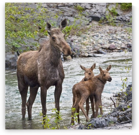 Sow Moose And Calves At Waterton National Park; Alberta, Canada by PacificStock