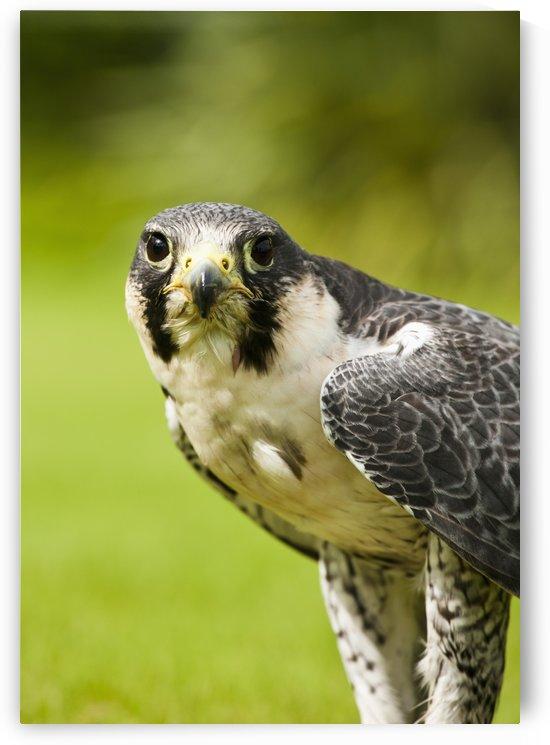 Peregrine Falcon (Falco Peregrinus); Windermere, Cumbria, England by PacificStock