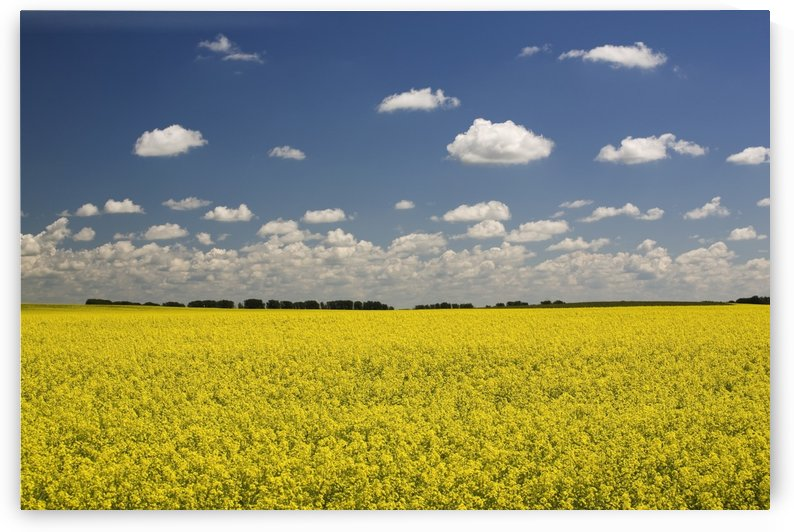 Flowering Canola Field With Clouds Overhead; Alberta, Canada by PacificStock