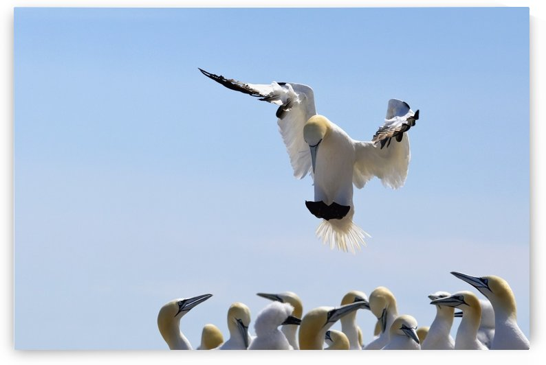 Gannet Descending In The Flock; Perce, Quebec, Canada by PacificStock