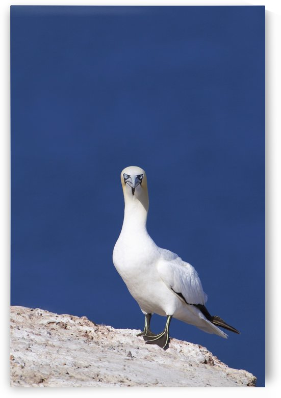 Gannet With An Attitude Staring At The Camera; Perce, Quebec, Canada by PacificStock