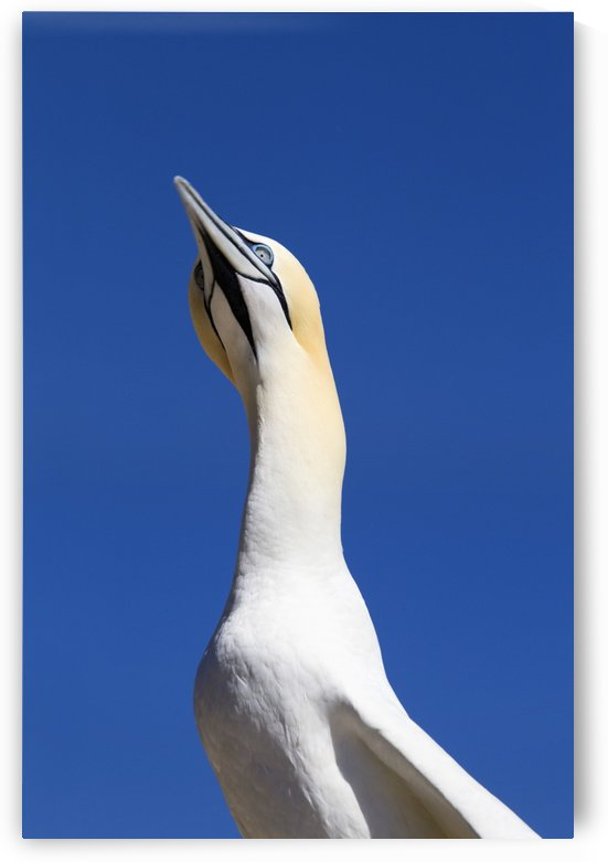 A Single Gannet Searches The Sky For Her Mate On Bonaventure Island; Perce, Quebec, Canada by PacificStock