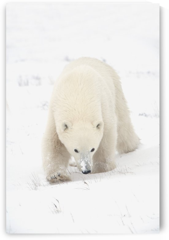 Curious Young Polar Bear (Ursus Maritimus) Exploring; Churchill, Manitoba, Canada by PacificStock