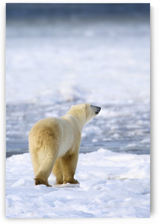 Polar Bear (Ursus Maritimus) Sniffs The Air As He Is On The Hunt For Food; Churchill, Manitoba, Canada by PacificStock