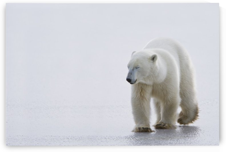 Polar Bear (Ursus Maritimus) Walking On Ice With Eyes Closed, Looking Gentle And Calm; Churchill, Manitoba, Canada by PacificStock