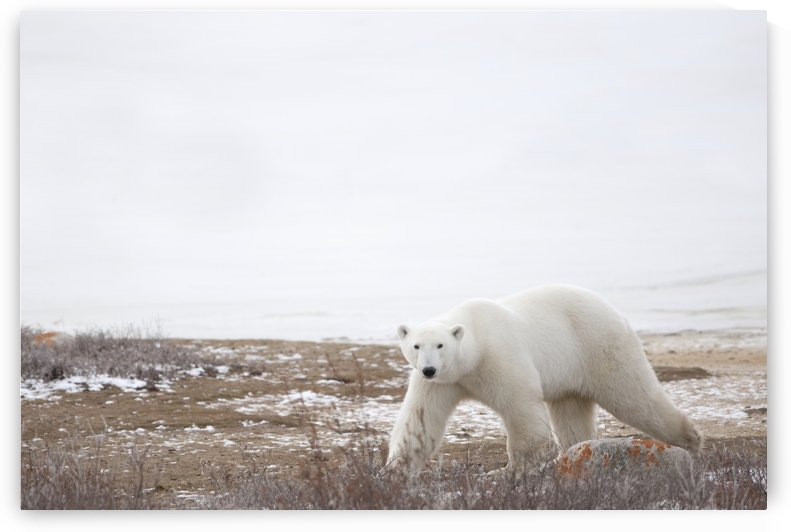 Polar Bear (Ursus Maritimus) Staring Ahead As It Walks Across The Frozen Tundra; Churchill, Manitoba, Canada by PacificStock