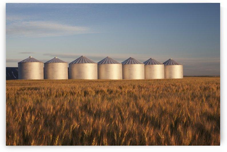Row Of Shiny Metal Grain Bins In A Wheat Field At Sunrise; Alberta, Canada by PacificStock