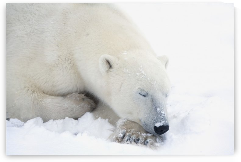 Polar Bear (Ursus Maritimus) Has His Eyes Closed During A Very Peaceful Sleep; Churchill, Manitoba, Canada by PacificStock