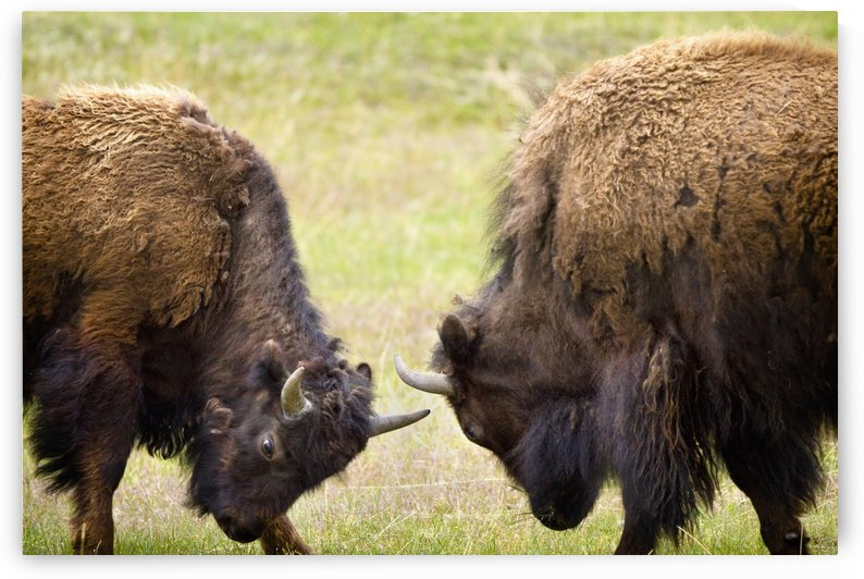 Two Male Bisons (Buffalo) Fighting At Yellowstone National Park; Wyoming, Usa by PacificStock