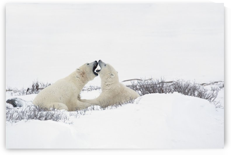 Two Polar Bears (Ursus Maritimus) In A Humorous Looking Moment With Their Mouths Open As If Smelling Each Other's Breath; Churchill, Manitoba, Canada by PacificStock