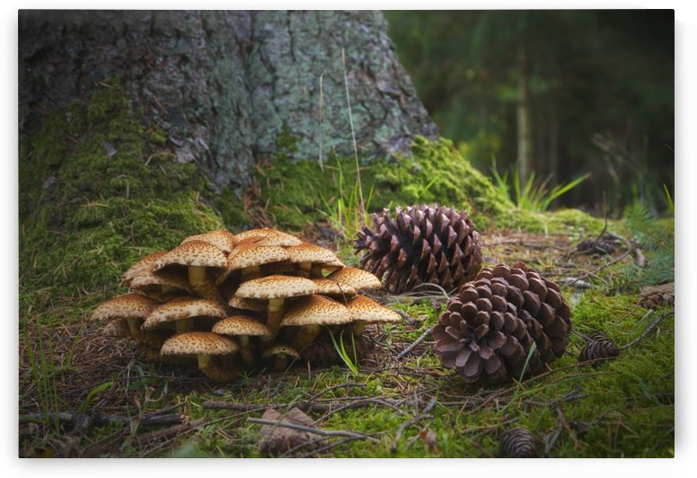Mushrooms And Pine Cones On The Forest Floor; Northumberland, England by PacificStock