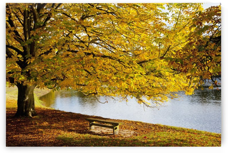 A Large Tree And Bench Along The Water In Autumn; North Yorkshire, England by PacificStock
