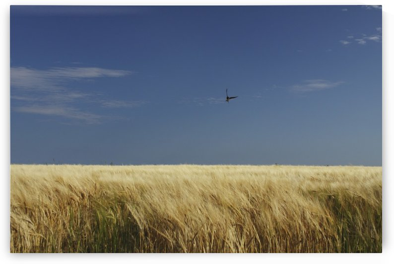 A Swallow Flying Low Over A Barley Field In East Cork In Munster Region; Ballycotton, County Cork Ireland by PacificStock