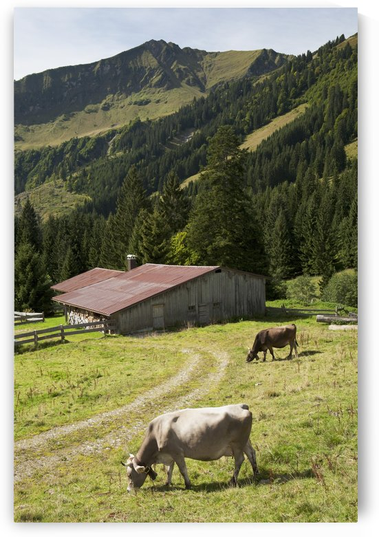 Cattle Grazing On An Alpine Meadow With A Barn And Mountains In The Background; Oberstdorf, Germany by PacificStock