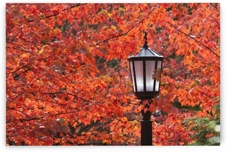 Autumn Colors On The Leaves And A Light Post; Portland, Oregon, United States Of America by PacificStock