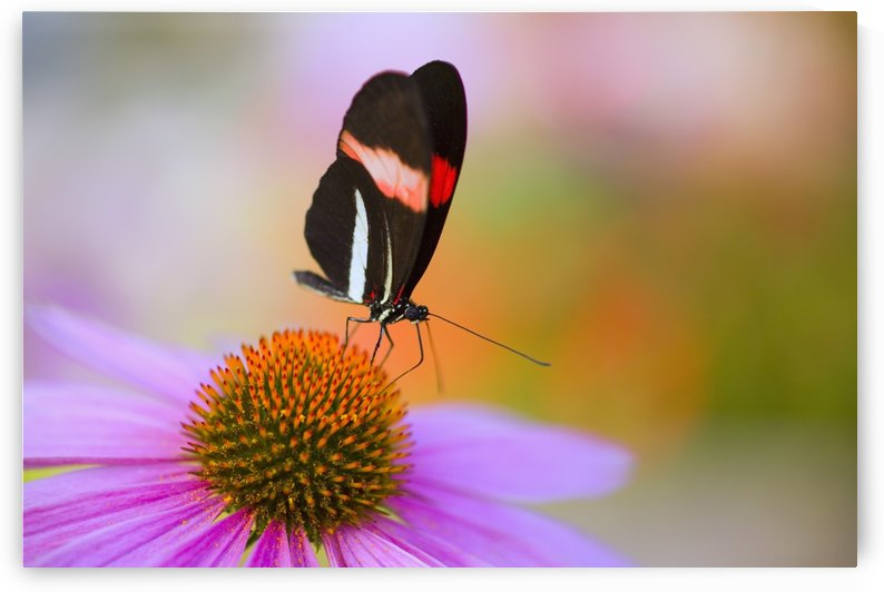 Colorful Butterfly On Cone Flower Blossom In Spring; Oregon, Usa by PacificStock