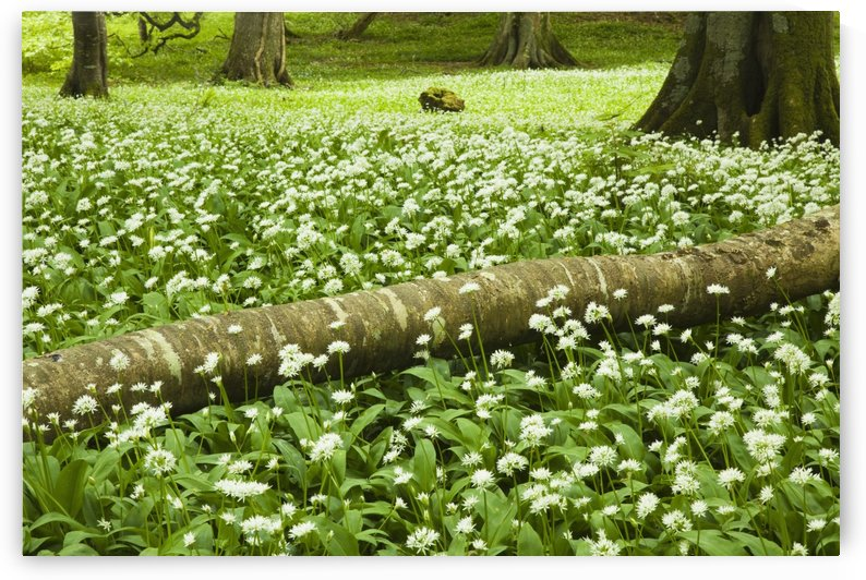 White Wildflowers Growing Amongst The Trees; Killarney, County Kerry, Ireland by PacificStock