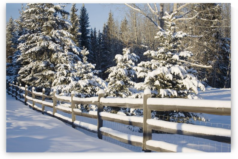 Snow-Covered Evergreens And Rustic Fence; Calgary, Alberta, Canada by PacificStock