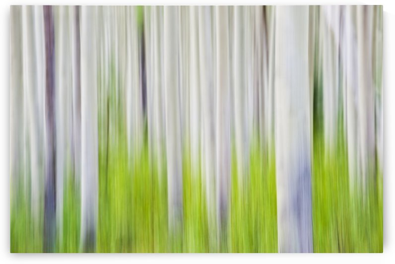 Aspen Tree Blurry Abstract; Canada by PacificStock