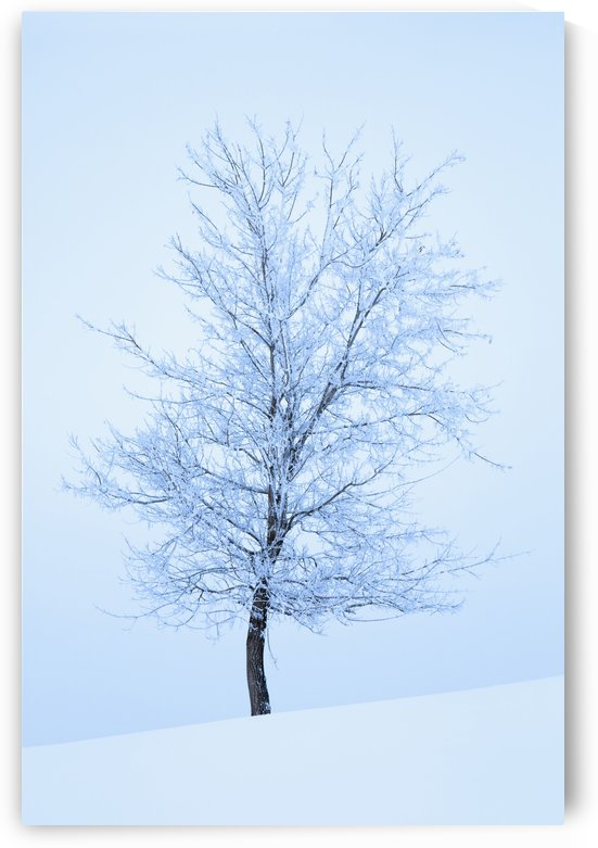 Frost And Snow Cover An Oak Tree; Calgary, Alberta, Canada by PacificStock