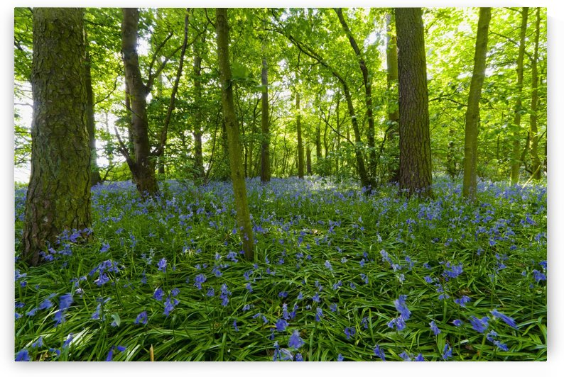 A Forest With Bluebells; Northumberland, England by PacificStock