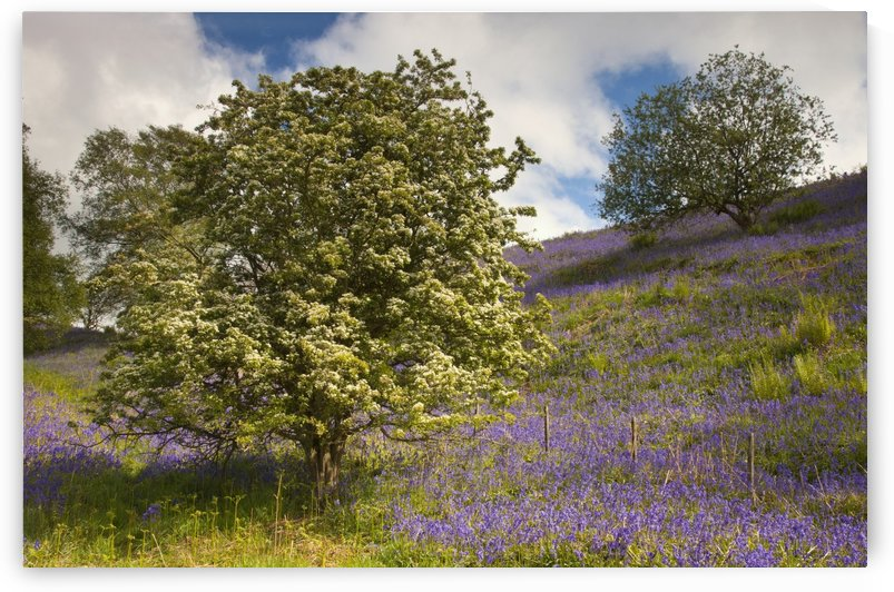 Trees And Purple Wildflowers On A Hillside; Northumberland, England by PacificStock