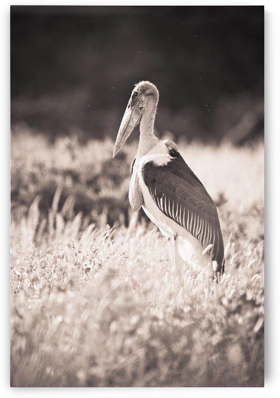 A Large Bird Stands In The Grass; Samburu, Kenya by PacificStock