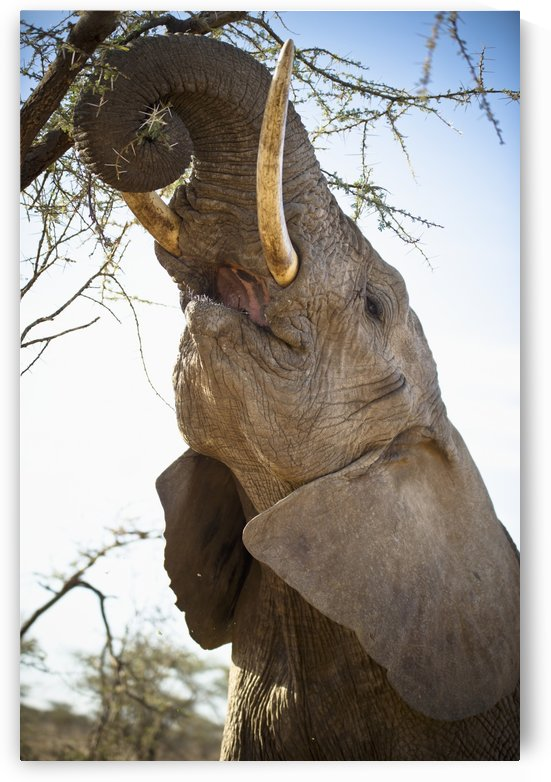 An Elephant Eats The Leaves High Up In A Tree; Kenya by PacificStock