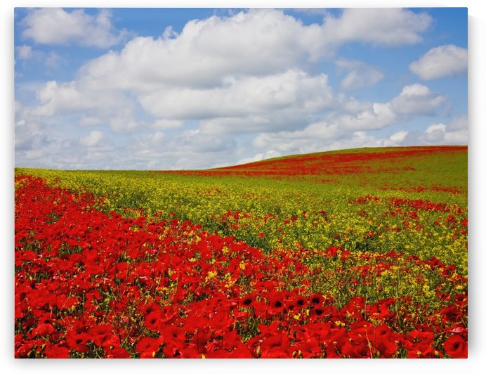 An Abundance Of Red Poppies In A Field; Corbridge, Northumberland, England by PacificStock