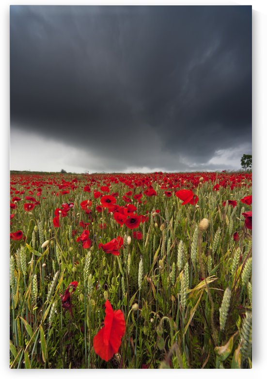 A Field Of Red Poppies Under A Dark Stormy Sky; Northumberland, England by PacificStock