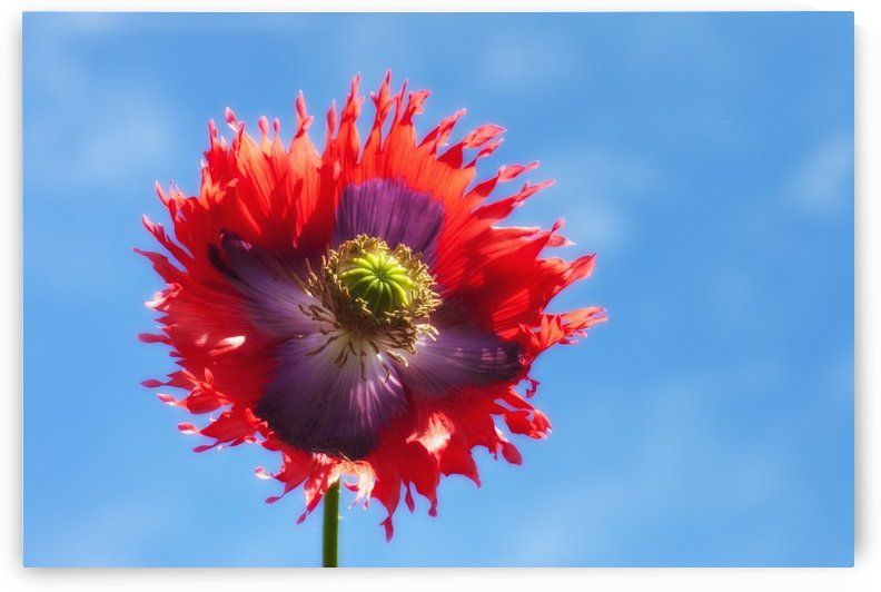 A Colorful Flower With Red And Purple Petals Against A Blue Sky; Northumberland, England by PacificStock
