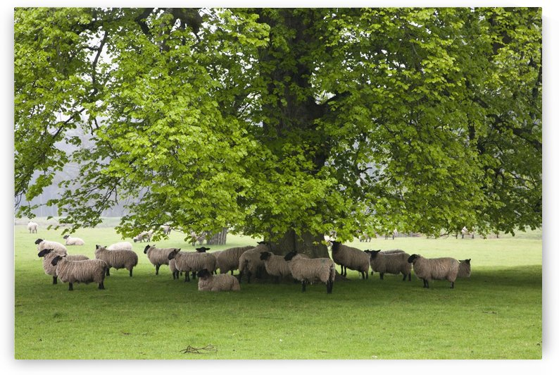 Sheep Standing Under A Tree; Northumberland, England by PacificStock