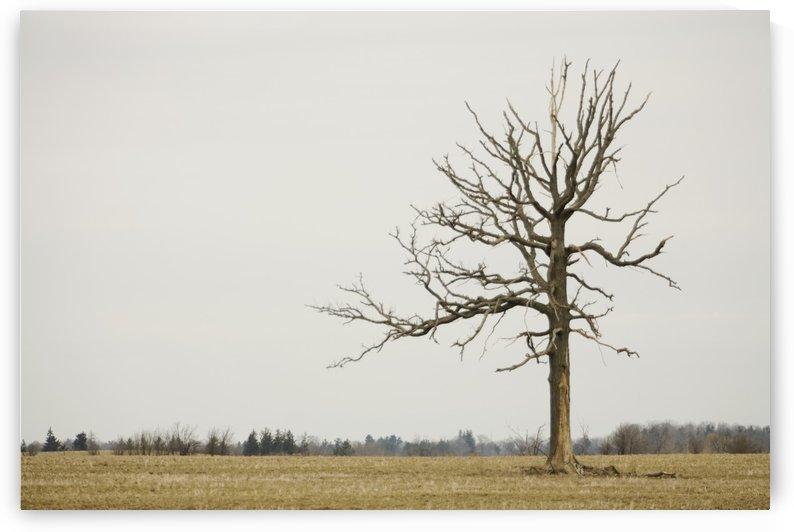A Lone Tree In A Field; Winnipeg, Manitoba, Canada by PacificStock