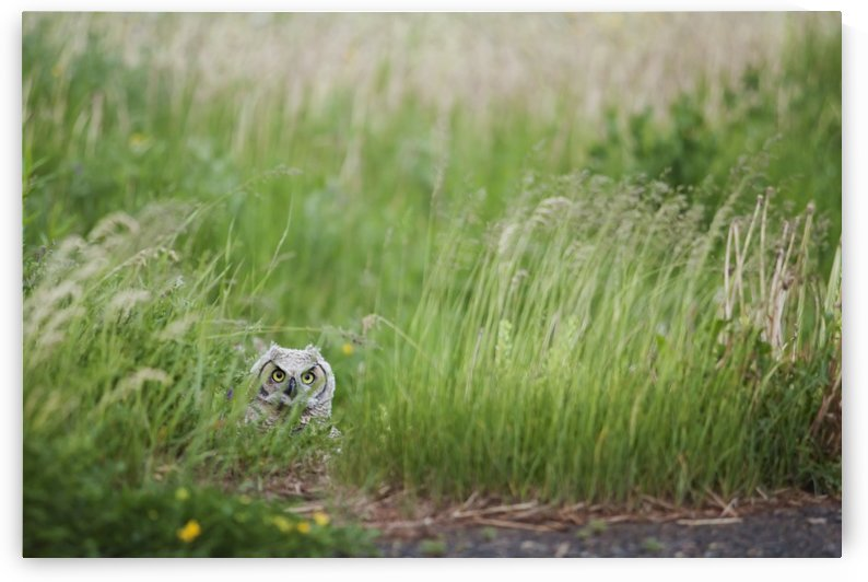 Great Horned Owl (Bubo Virginianus) In The Grass; Thunder Bay, Ontario, Canada by PacificStock