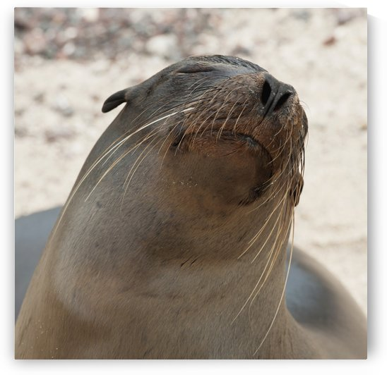 Whiskers On The Face Of A Fur Seal (Otariidae); Galapagos, Equador by PacificStock